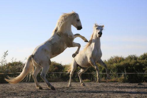 standard horses combat