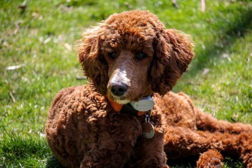standard poodle puppy brown dog