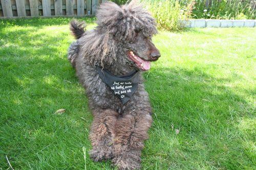 standard poodle dog pets