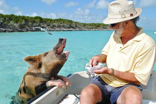 staniel cay exumas bahamas swimming pig