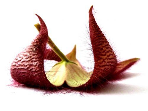 stapelia plant flower
