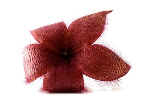 stapelia red plants