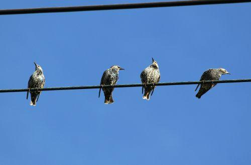 star stare birds