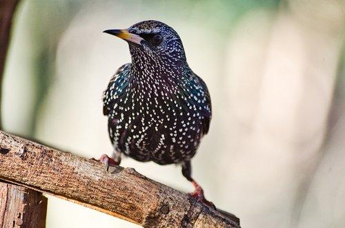 star  bird  songbird
