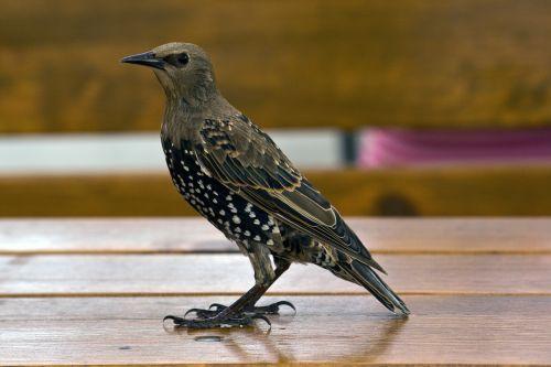 star bird nature