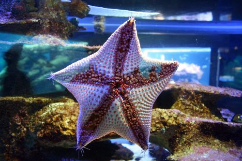 Star Fish With Red Nodules