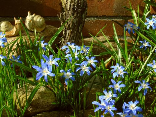 star hyacinth hyacinth blue