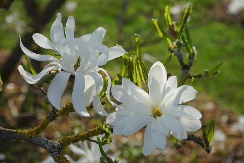 star magnolie magnolia blossom