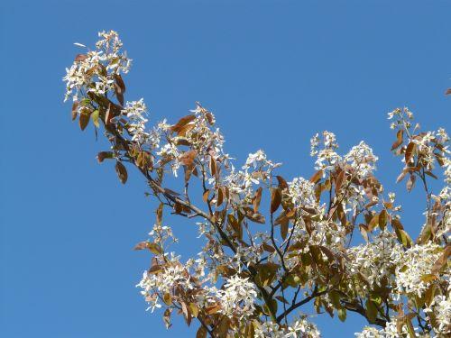 star magnolie magnolia stellata tree