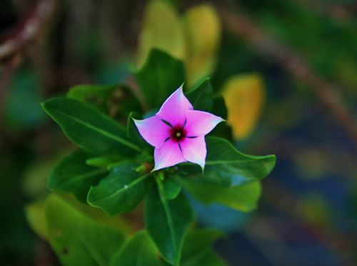 Star Shaped Pink Periwinkle