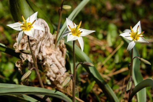 star tulip small star tulip blossom
