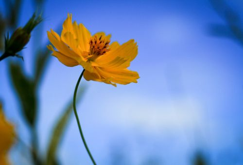 starburst yellow flowers nature