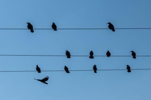 stare power line birds