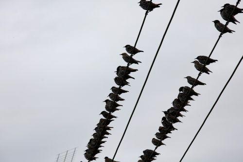 stare birds power line