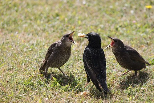 stare  young birds  star mother