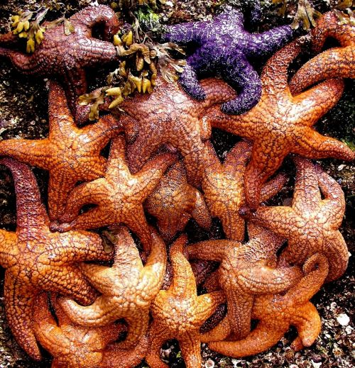 starfish ocean living