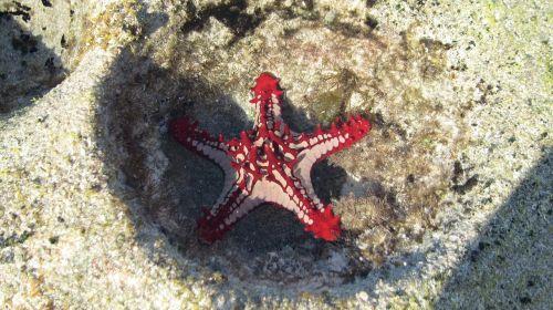 starfish mar red