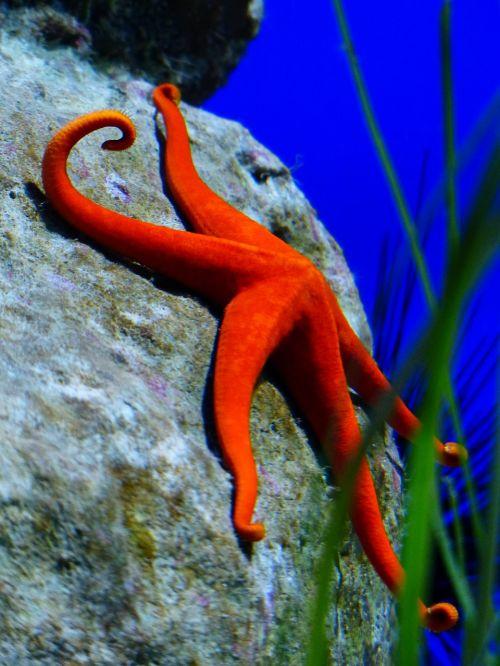 starfish red red starfish