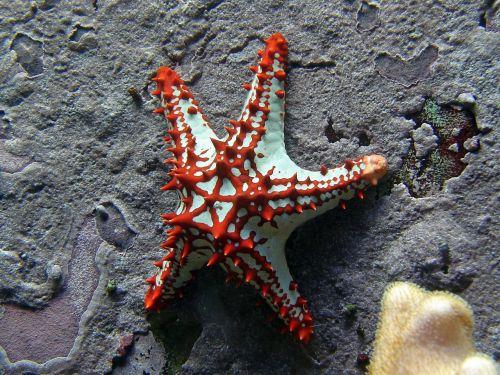starfish red white