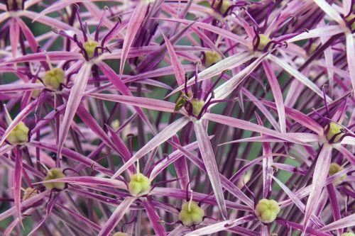 starlight-lauch allium cristophii garden ball-lauch