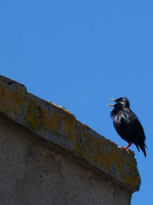 starling bird singing black bird