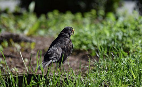 starling bird nature