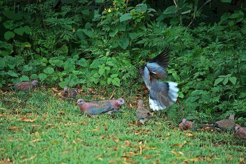 Startled Dove