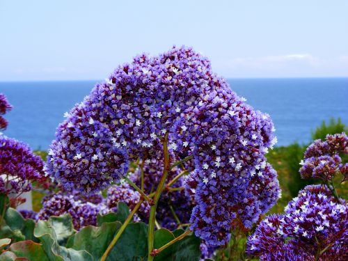 statice sea lavender coastal bluffs