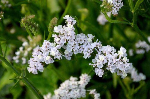 statice summer flowers