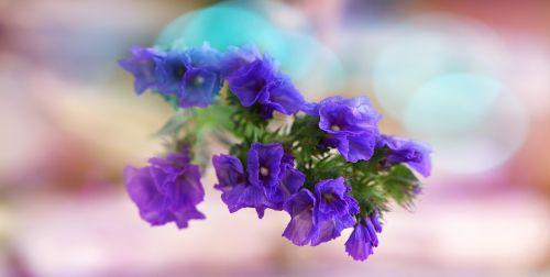 statice sinuatum blue sea flower