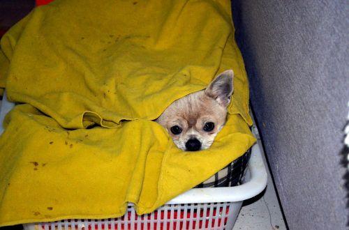 gyvūnai, šuo, chihuahua, pagal & nbsp, viršelius, likti & nbsp, šilta, slėpti, slepiasi, šuniukas, šiltas, antklodė, likti šilta
