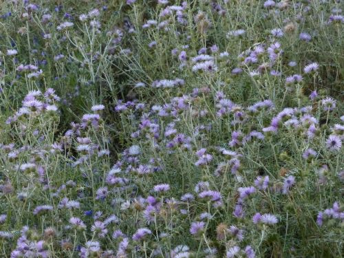 steal-thistle thistle blossom