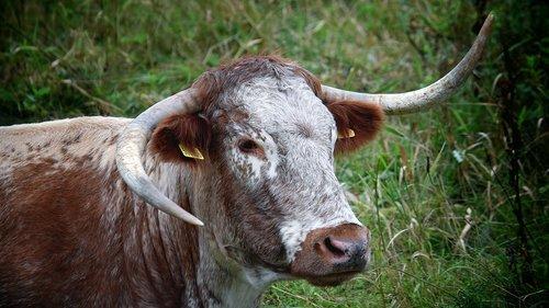 steer  bull  cow