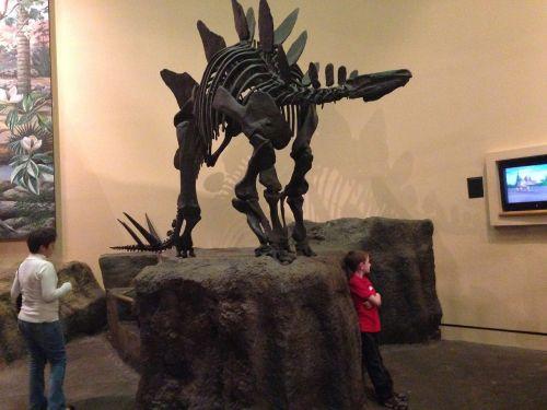 stegosaurus museum skeleton
