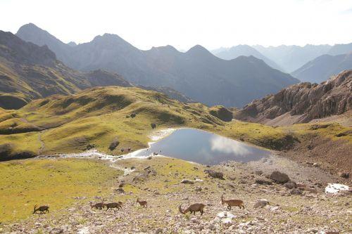 steinöcke alpine bergsee