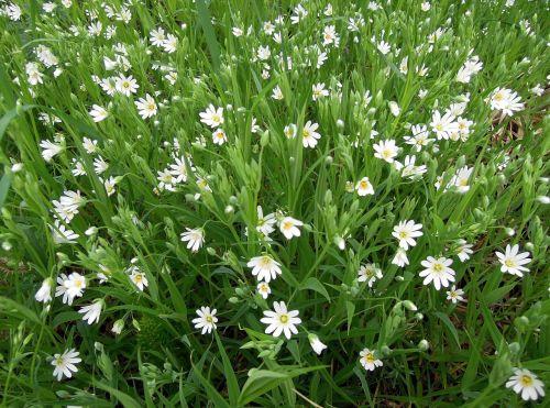 stellaria white flowers