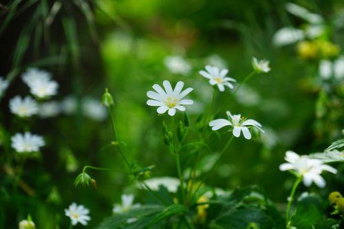 stellaria holostea flowers white