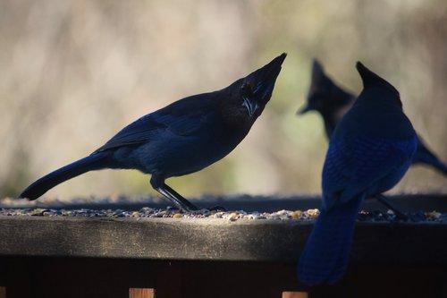 stellar's jay  birds  nature