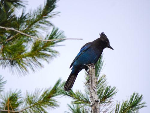 steller's jay blue black