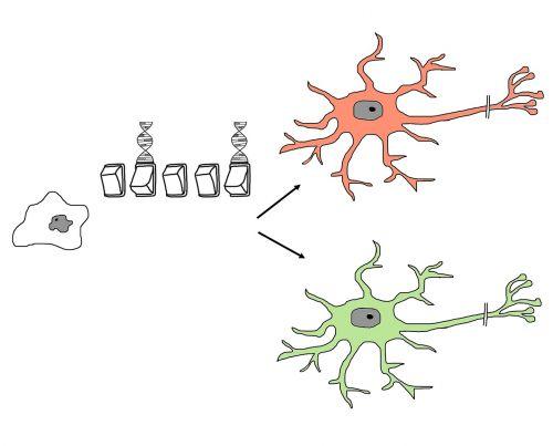 stem cell differentiation programming