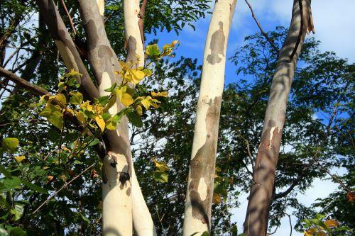Stems Of Eucalyptus