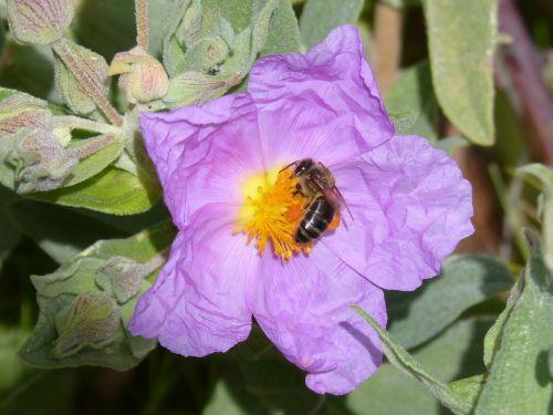 steppe cistus bee