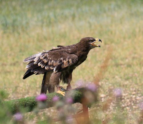 steppe eagle eagle steppe