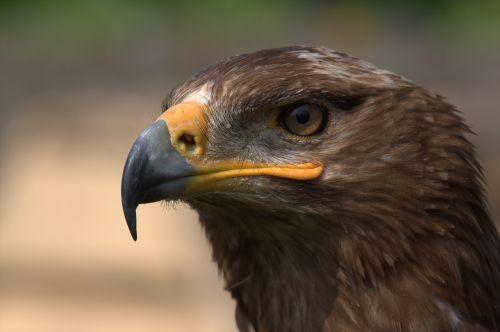 steppe eagle adler bird