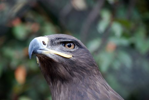 Steppe Eagle Watching