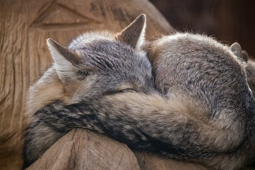steppe fox  fuchs  mammal