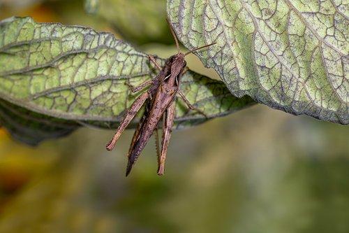 steppe grasshopper  as  caelifera