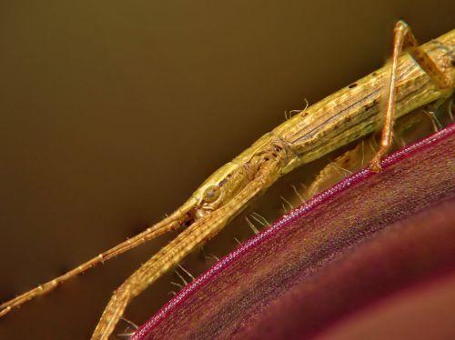 stick insect macro eye