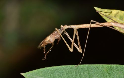 stick insect walking stick insect