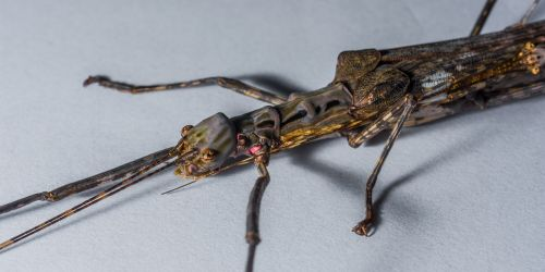 stick insect ghost insect scare